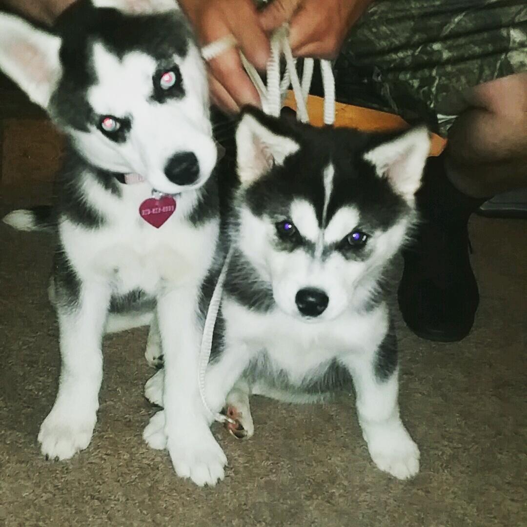 Husky Pups1