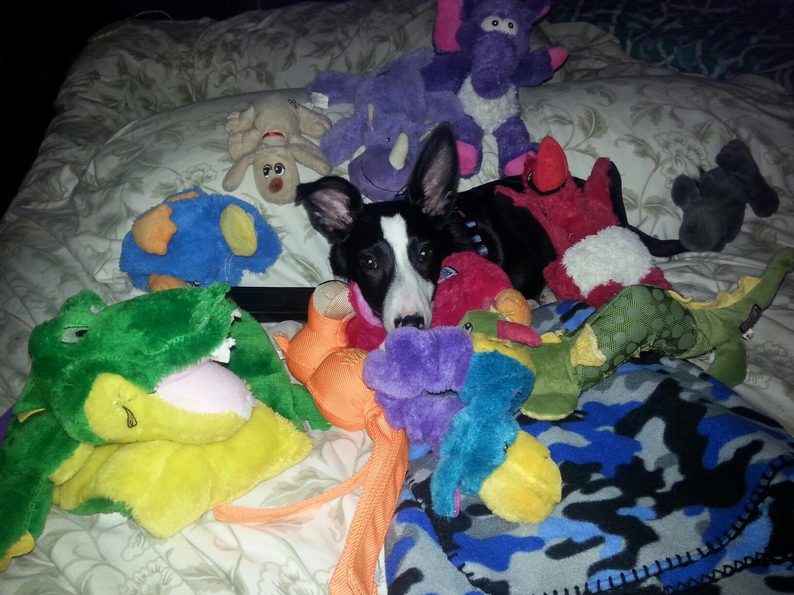 liam-lapierre--4-month-old-border-collie-puppy
